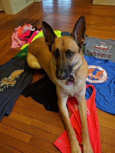 Viira the Belgian malinois dog and old shirts