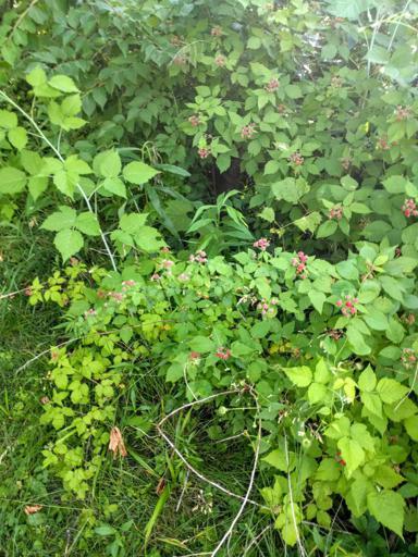 Not Ripe Wild Black Raspberries on Plant Growing