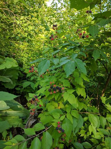 Wild Black Raspberries