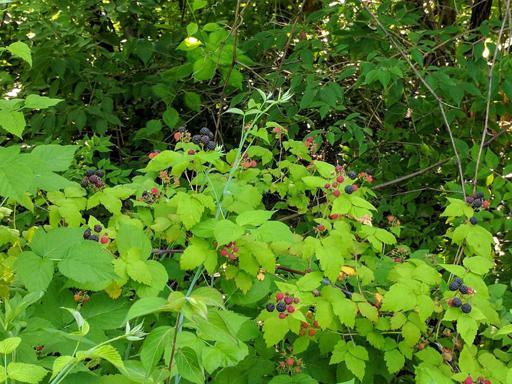 Wild Black Raspberries on Plant